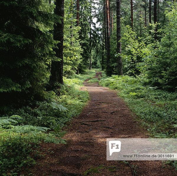 Pathway inmitten Bäume im Wald