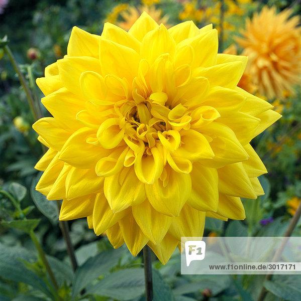 Gelbe Blumen Nahaufnahme.