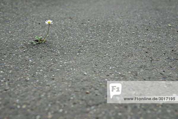 Gänseblümchen blüht auf einer asphaltierten Straße
