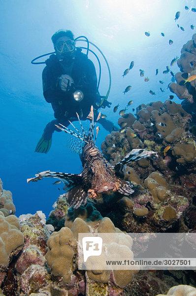 Ägypten  Rotes Meer  Taucher und Feuerfische (Pterois volitans)