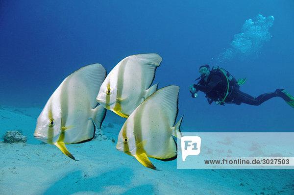 Ägypten  Rotes Meer  Taucher mit Fledermausfisch (Platax orbicularis)