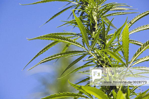 Deutschland  Cannabis (Cannabis sativa) gegen blauen Himmel  Nahaufnahme