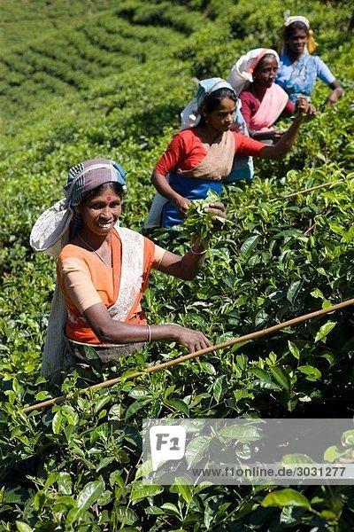Tamil tea pluckers  Nuwara Eliya  Sri Lanka