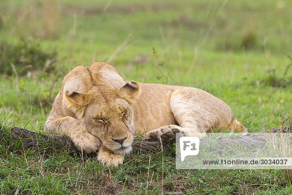 Löwin - schlafend