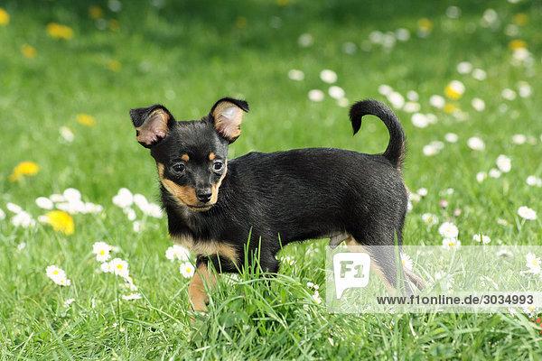 Russischer Toy Terrier - stehend auf Wiese