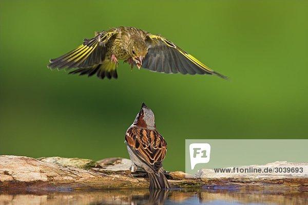 Grünfink (Carduelis chloris) greift Sperling (Passer) aus der Luft an  Close-up