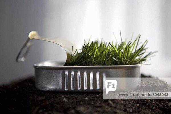 Gras sprießt in Sardinenbüchse