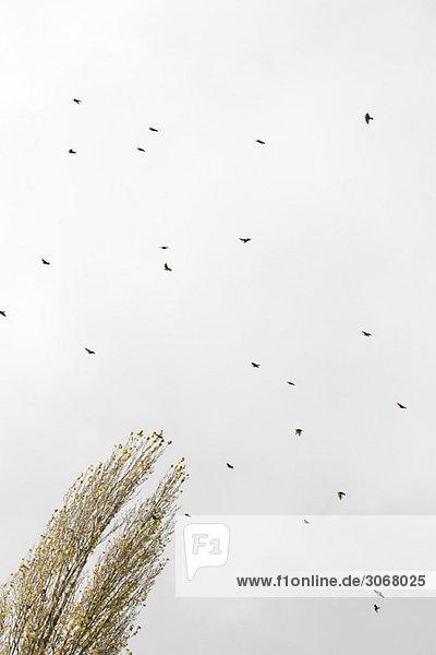 Vogelschwarm am Himmel  flacher Blickwinkel