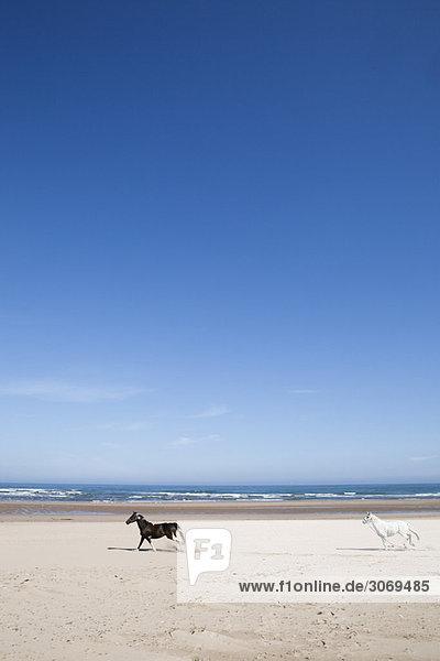Zwei Pferde galoppieren am Strand entlang  Schottland