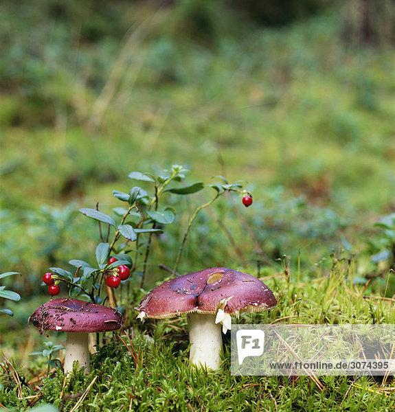 Pilze inmitten Gras