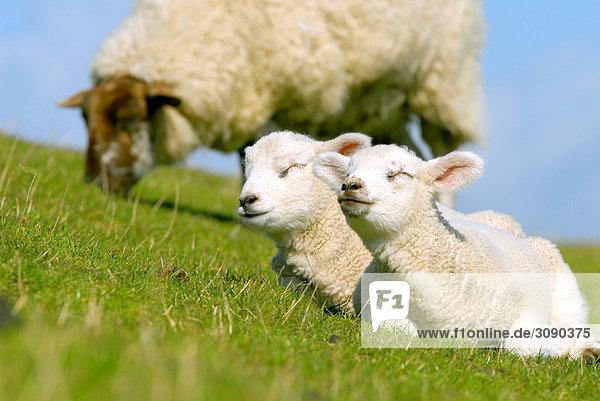 Zwei Lämmer und ein Schaf auf der Wiese  Schleswig-Holstein  Deutschland