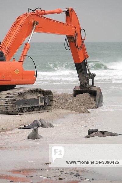 Seehunde am Strand  Helgoland  Deutschland