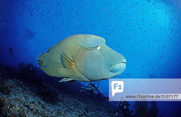 Humpback Wrasse (Cheilinus undulatus) and scuba divers  Ari atoll  Maldives  side view