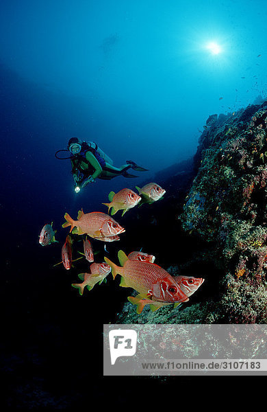 Longjawed Squirrelfishes (Sargocentron spiniferum) and scuba diver in coral reef  Ari Atoll  Maldives  Indian Ocean