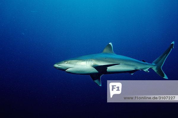 Silvertip shark (Carcharhinus albimarginatus)  Fiji  Pacific Ocean  side view