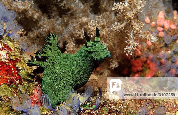 Green Neon Slug  Panglao Island  Philippines  Bohol Sea  underwater shot