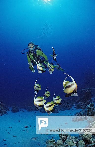 Scuba diver and Red Sea Bannerfishes (Heniochus intermedius)  Egypt  Shaab Marksur  Red Sea