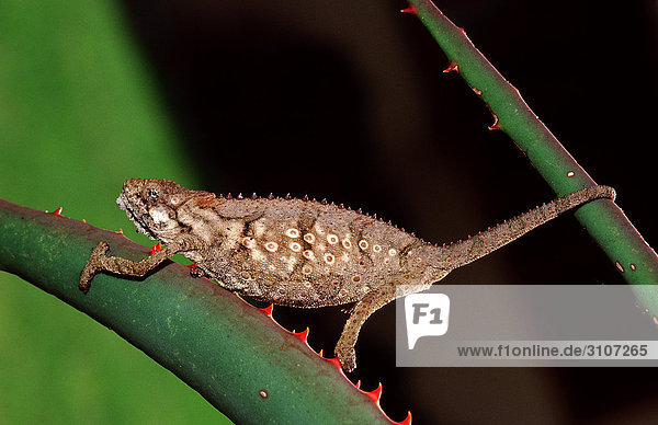 Eastern Dwarf Chameleon (Bradypodion ventrale) sitting on succulent plant  Tsitsikamma National Park  Republic of South Africa  side view