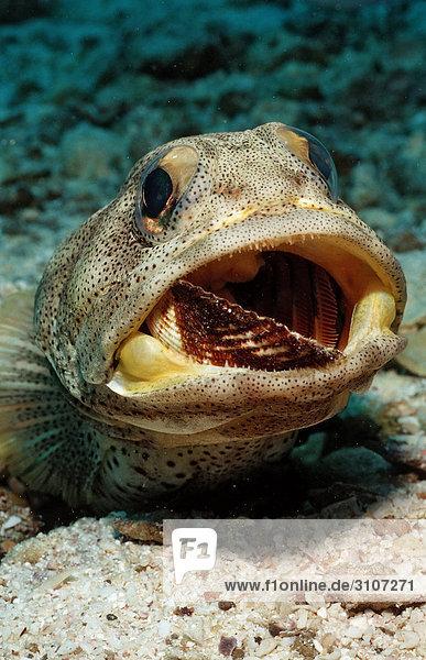 Giant jawfish (Opistognathus rhomaleus) digging den  La Paz  Mexico  Sea of Cortez  close-up