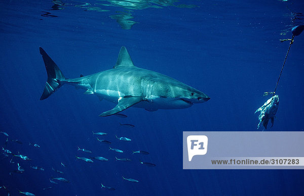 Great White Shark (Carcharodon carcharias) swimming to bait  Dyer Island  Gansbaai  Republic of South Africa  side view