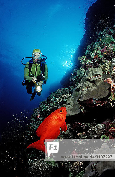 Scuba diver discovering Crescent-tail bigeye (Priacanthus hamrur) in reef  St. Johns Reef  Egypt  Red Sea  underwater shot