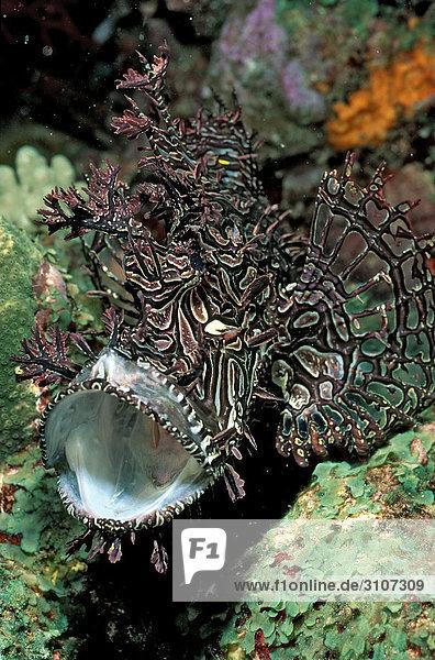 Merlets Scorpionfish (Rhinopias aphanes)  Australia  Pacific Ocean  underwater shot