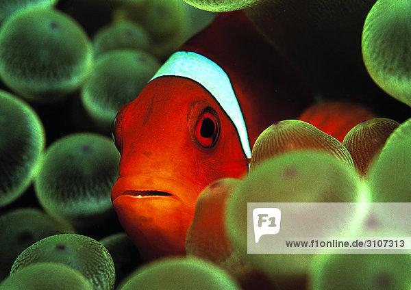 Spinecheek Clownfish (Premnas aculeatus) amidst sea anemones  Micronesia  Pacific Ocean  close-up