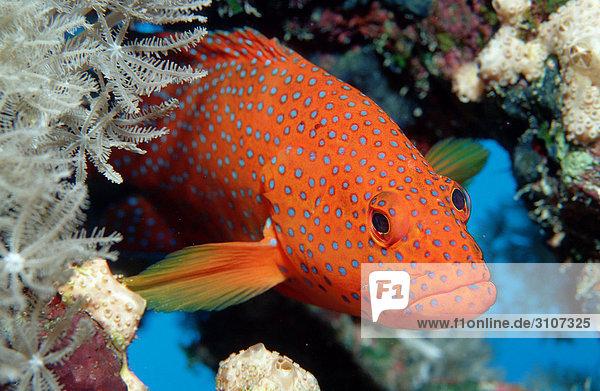 Coral grouper (Cephalopholis miniata) in coral reef  Sinai  Egypt  Red Sea  close-up