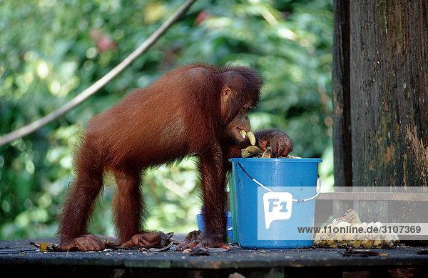 Orang-Utan (Pongo pygmaeus) Bananen aus Eimer fressend  Sepilok Orang-utan Rehabilitation Centre  Borneo  Malaysia  Seitenansicht