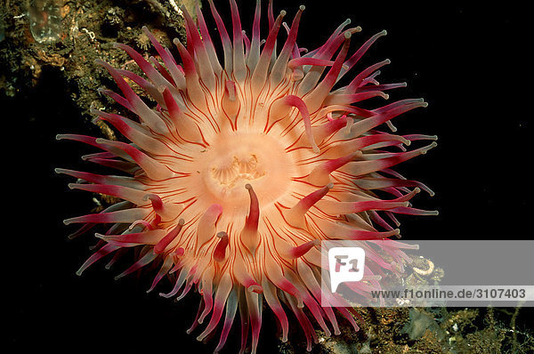 Sea anemone  Alesund  Norway  Atlantic Ocean  close-up