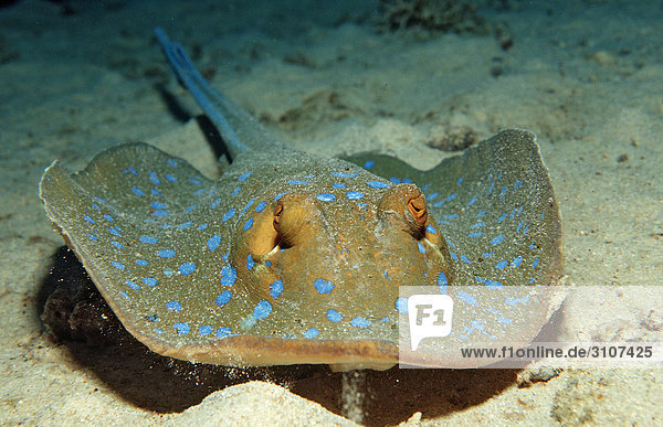 Bluespotted Ribbontail Ray (Taeniura lymma) on seabed  Sudan  Red Sea  close-up