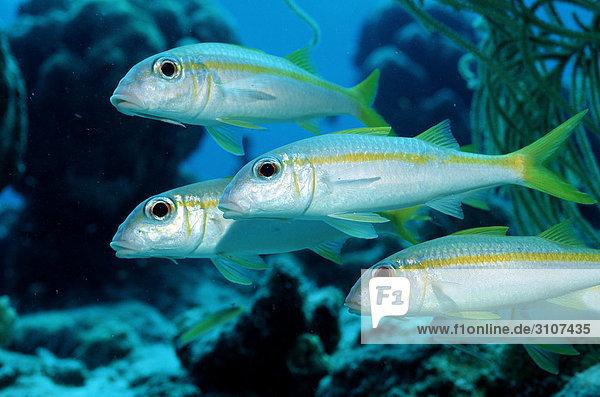 Four Yellow Goatfishes (Mulliodichthys martinicus)  British Virgin Islands  Caribbean Sea  side view