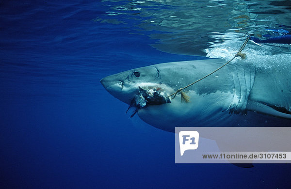 Great White Shark (Carcharodon carcharias) biting in bait  Guadalupe Island  Mexico  side view