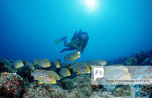 Oriental sweetlips (Plectorhinchus vittatus) and scuba diver  Ari Atoll  Maldives  Indian Ocean