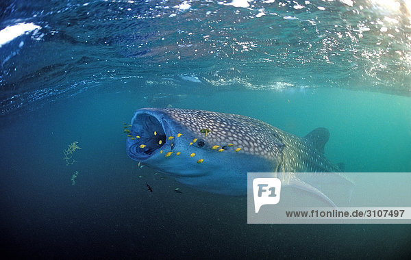 Eating Whale shark (Rhincodon thypus) with yellow pilot fishes  Djibouti  Africa  Gulf of Aden