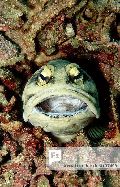Jawfish (Opistognathus dendriticus)  Lankayan  Malaysia  Pacific Ocean  close-up