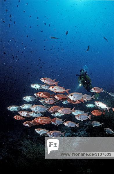 Crescent-tail Bigeye (Priacanthus hamrur) and scuba diver  Ari Atoll  Maldives  Indian Ocean