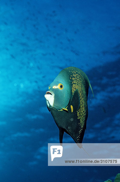 French Angelfish (Pomacanthus paru)  British Virgin Islands  Caribbean Sea  front view