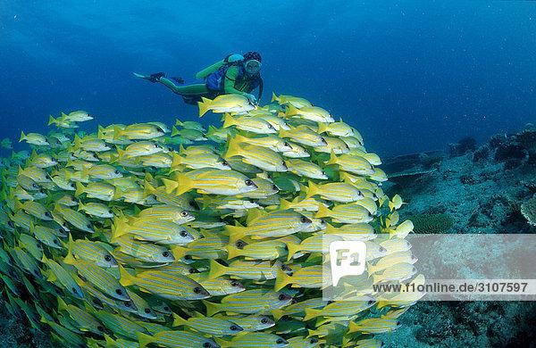 School of fivelined snappers (Lutjanus quinquelineatus) and scuba divers  Ari Atoll  Maldives  Indian Ocean