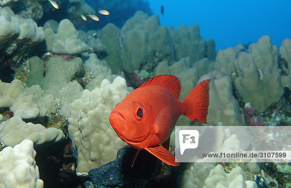 Crescent-tail bigeye (Priacanthus hamrur) in coral reef  Shaab Mahlai  Egypt  Red Sea  close-up