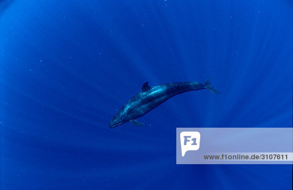False Killer Whale (Pseudorca crassidens)  Papua New Guinea  Pacific Ocean