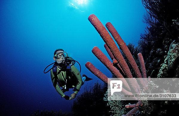 Scuba diver discovering Lavender Stovepipe sponge (Aplysina archeri) Guadeloupe  Caribbean Sea  underwater shot