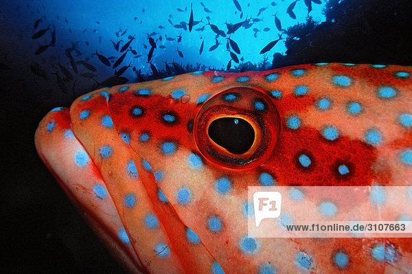 Coral grouper (Cephalopholis miniata)  Zabargad  Egypt  Red Sea  close-up