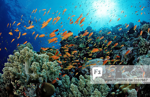 School of Harem Flag Basslets (Pseudanthias squamipinnis) in coral reef  St. Johns Reef  Red Sea  Egypt