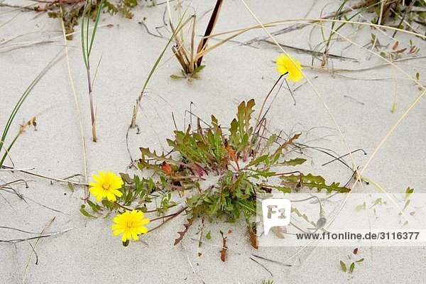 Dandelion on the beach Taraxacum litorale Island Spiekeroog East Frisian Island North Sea Germany