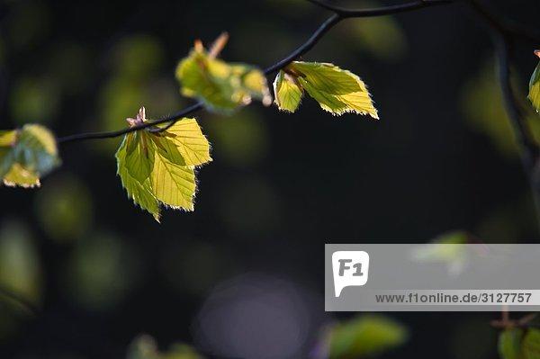 Zweig mit Blättern  Taunusstein  Deutschland  Close-up
