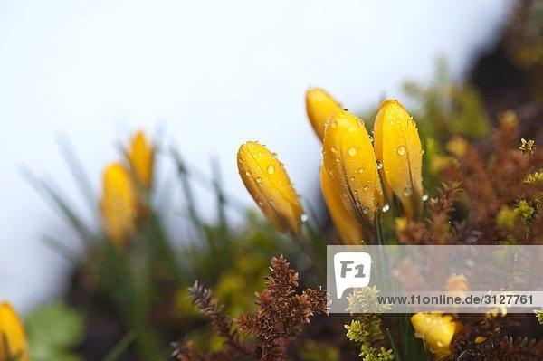 Wassertropfen auf gelben Krokusblüten  Close-up