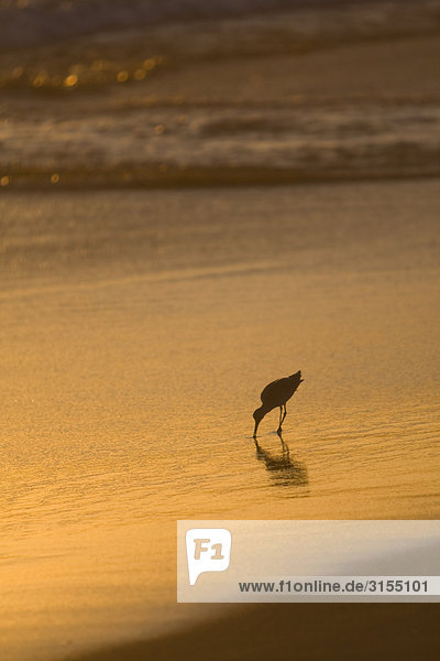 Sandpiper on beach at Sunset  Mexico
