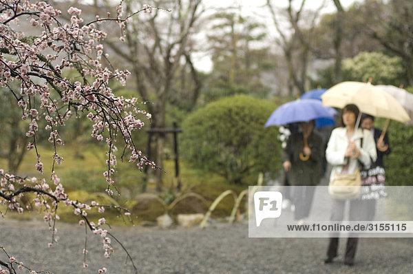Plum blossoms and people in background  Arashiyama  Kyoto  Japan