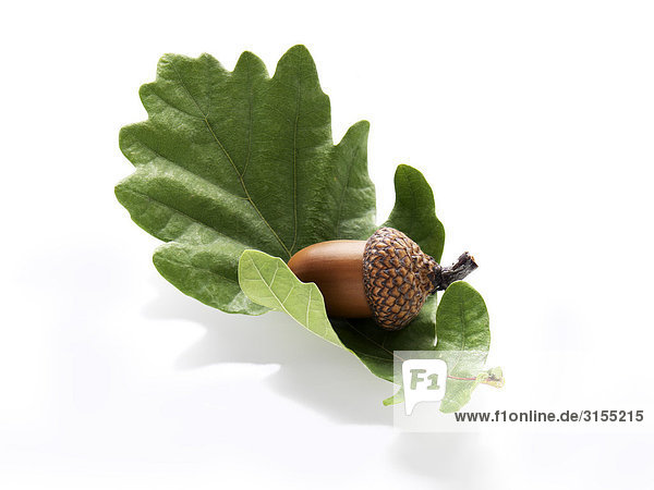 Acorn resting on oak leaf
